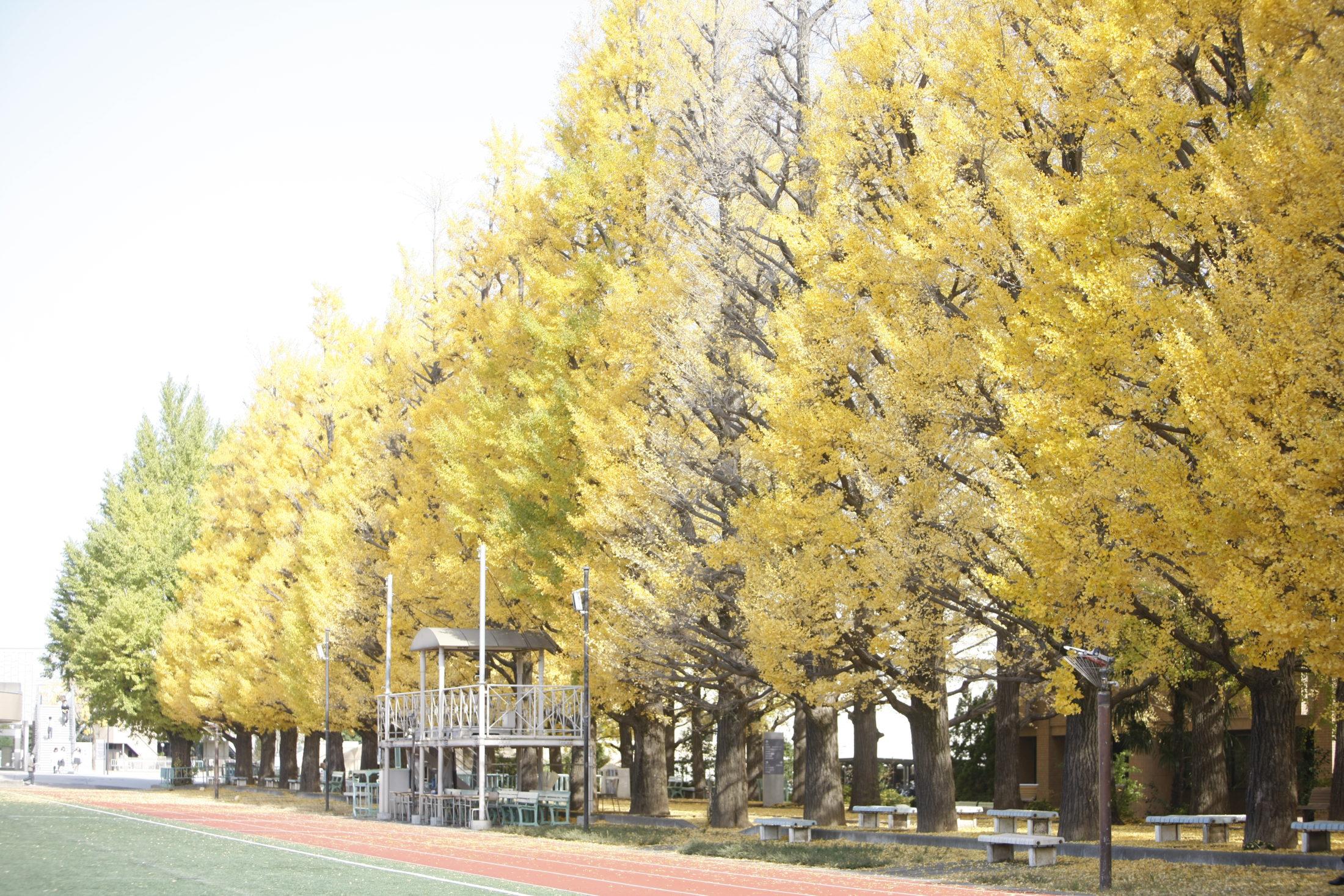 42本の銀杏並木
